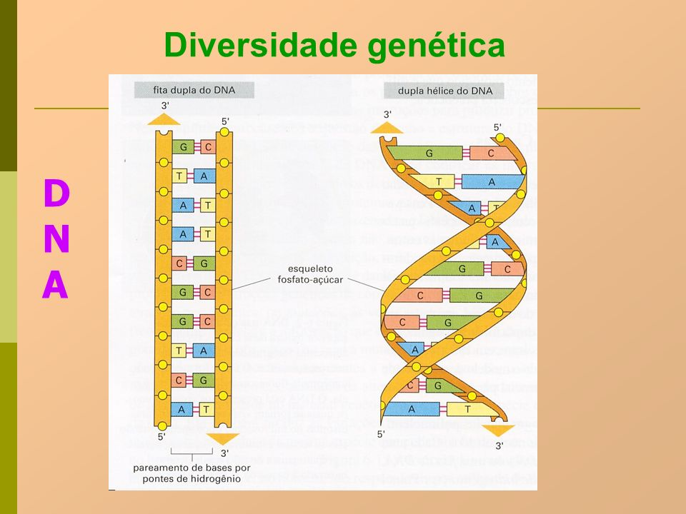 Diversidade genética DNA