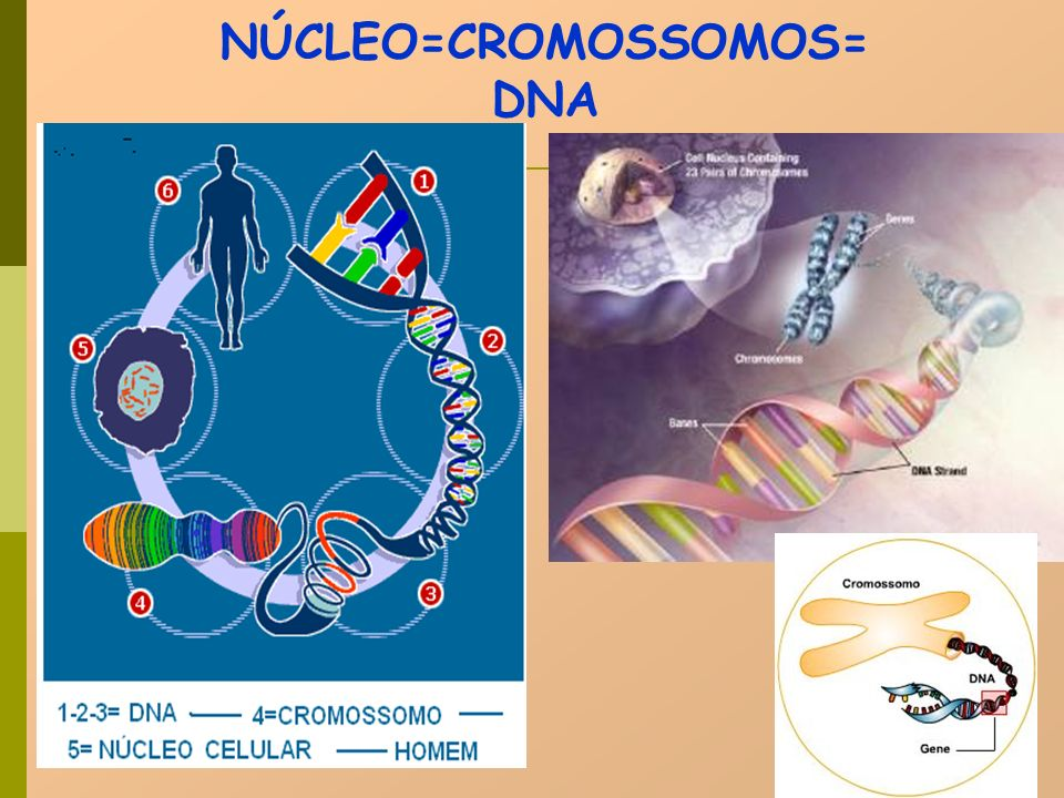 NÚCLEO=CROMOSSOMOS=DNA