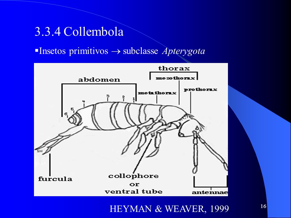3.3.4 Collembola Insetos primitivos  subclasse Apterygota