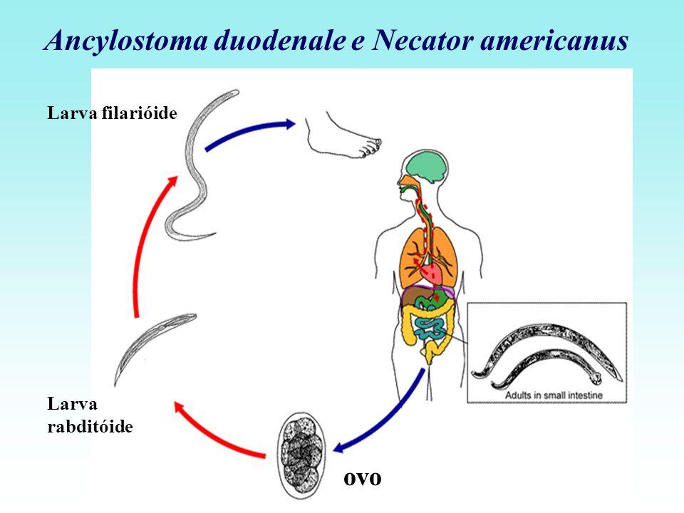 Ancylostoma duodenale e Necator americanus