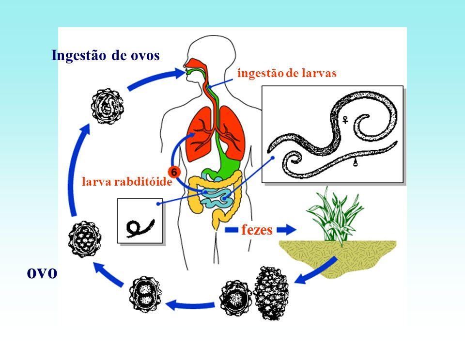 Ingestão de ovos ingestão de larvas larva rabditóide fezes ovo
