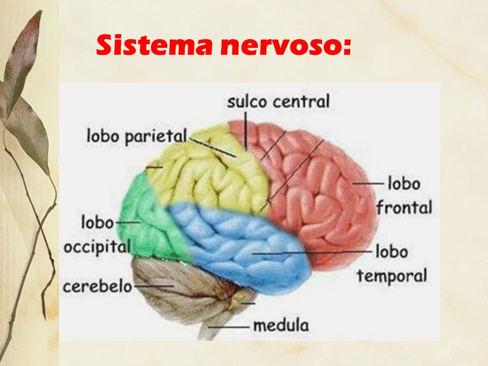Sistema nervoso: