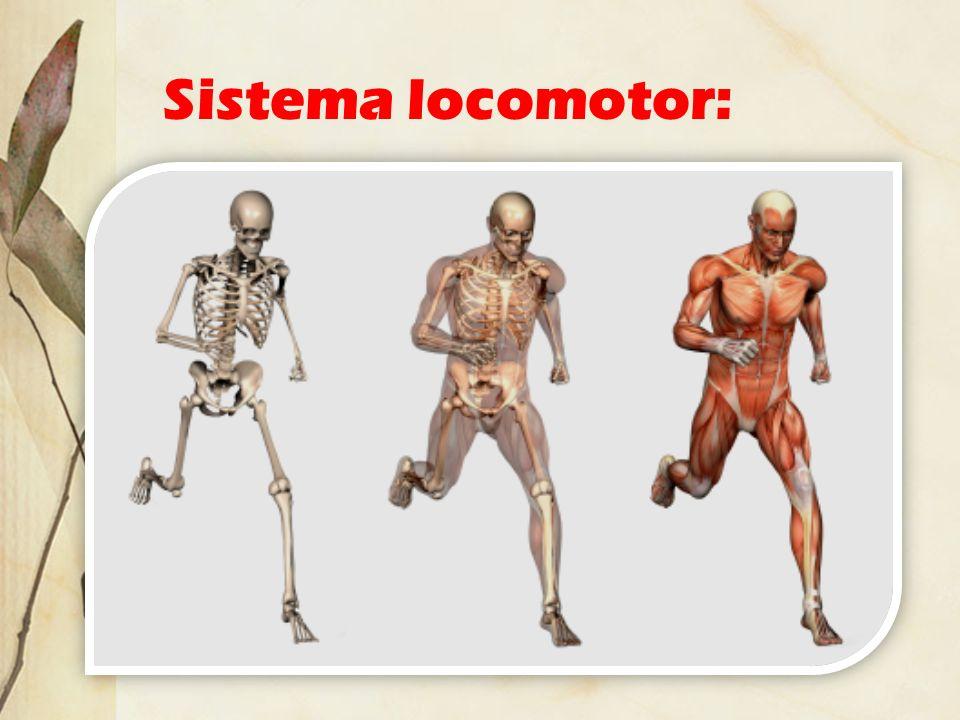 Sistema locomotor:
