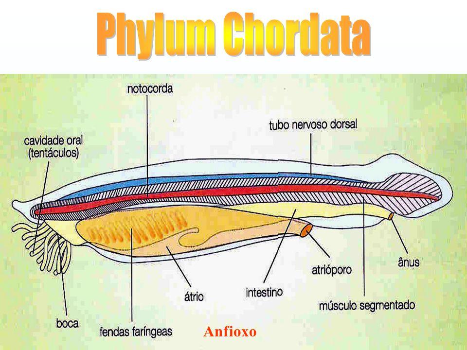 Phylum Chordata Anfioxo