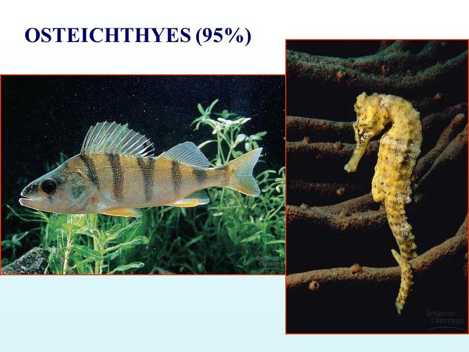 OSTEICHTHYES (95%)