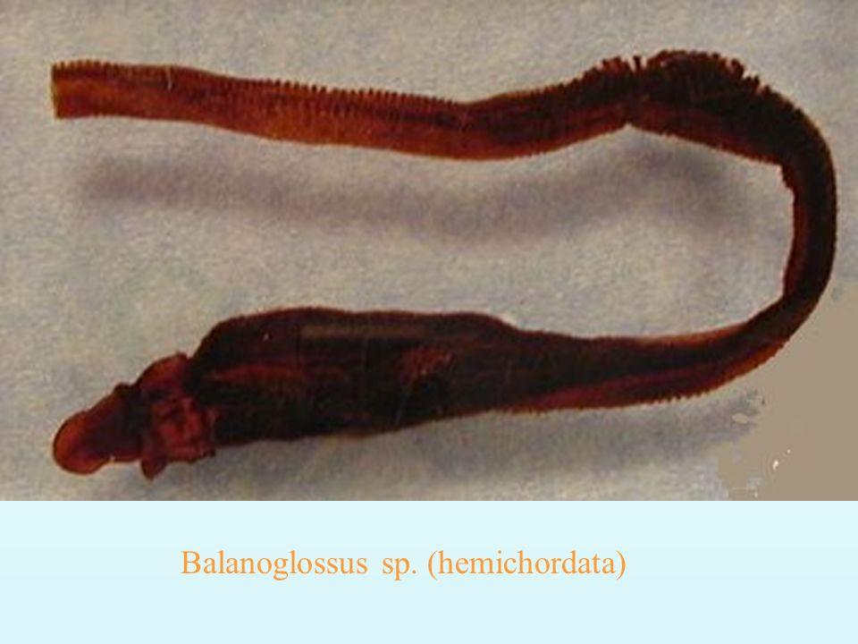 Balanoglossus sp. (hemichordata)