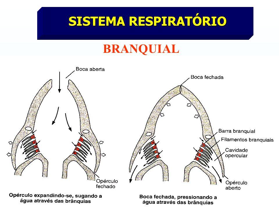 SISTEMA RESPIRATÓRIO BRANQUIAL