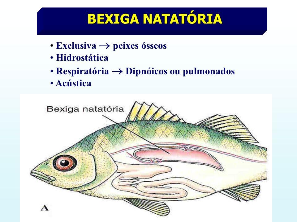 BEXIGA NATATÓRIA Exclusiva  peixes ósseos Hidrostática