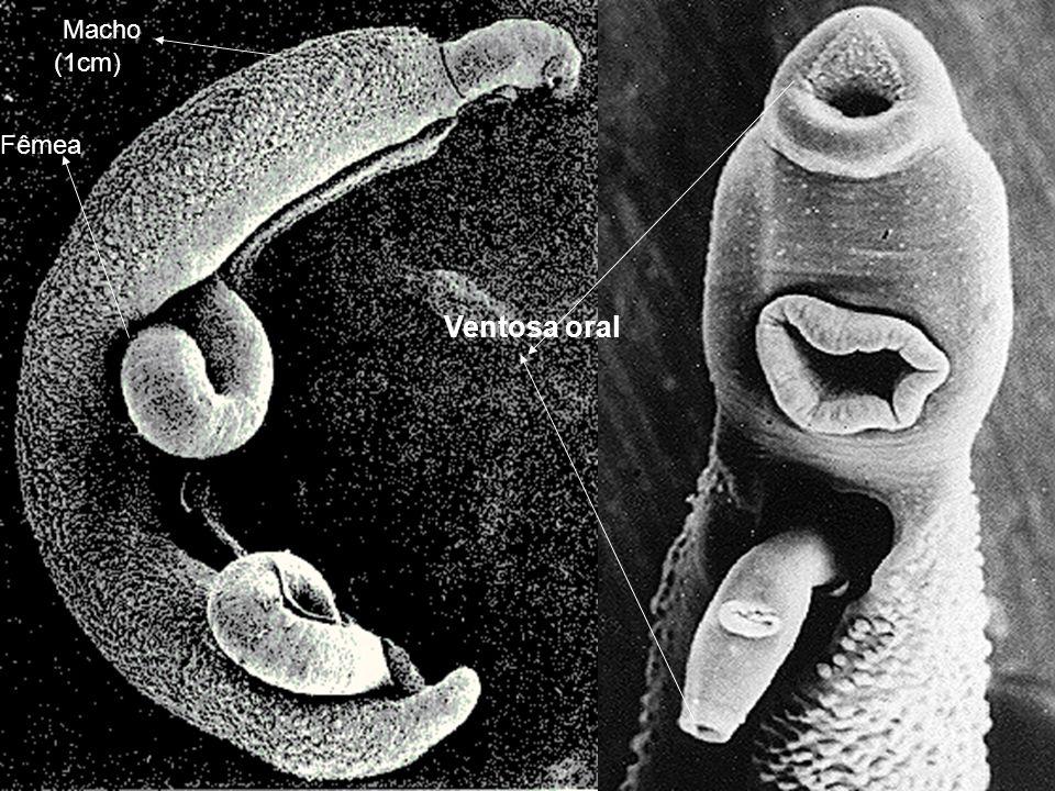 Macho (1cm) Fêmea Ventosa oral
