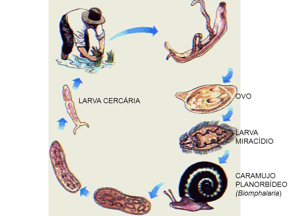 OVO LARVA CERCÁRIA LARVA MIRACÍDIO CARAMUJO PLANORBÍDEO (Biomphalaria)
