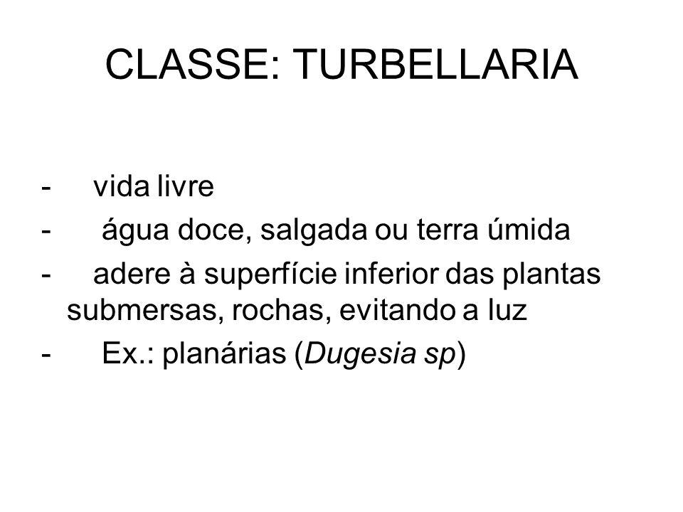 CLASSE: TURBELLARIA - vida livre - água doce, salgada ou terra úmida
