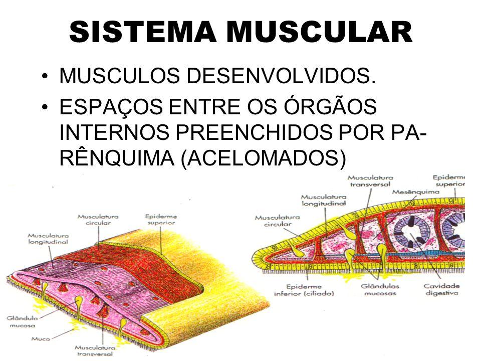 SISTEMA MUSCULAR MUSCULOS DESENVOLVIDOS.