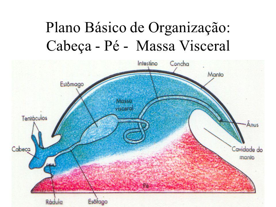 Plano Básico de Organização: Cabeça - Pé - Massa Visceral