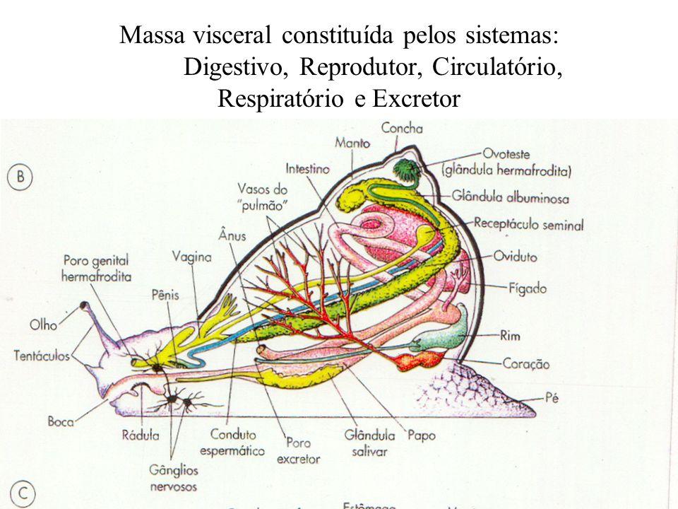 Massa visceral constituída pelos sistemas: