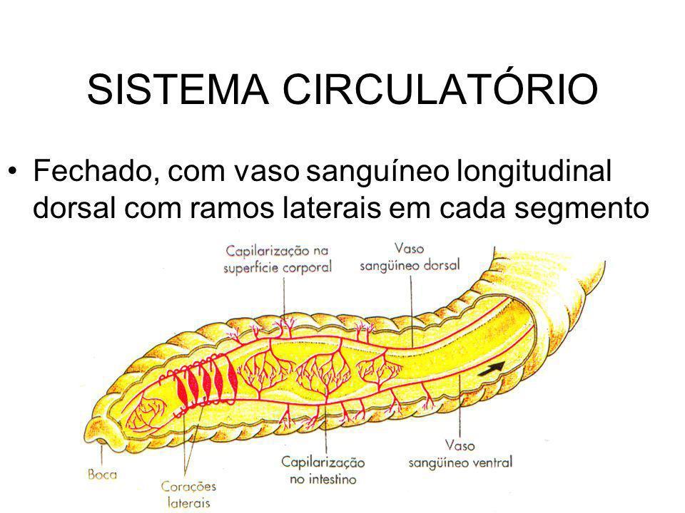 SISTEMA CIRCULATÓRIO Fechado, com vaso sanguíneo longitudinal dorsal com ramos laterais em cada segmento.