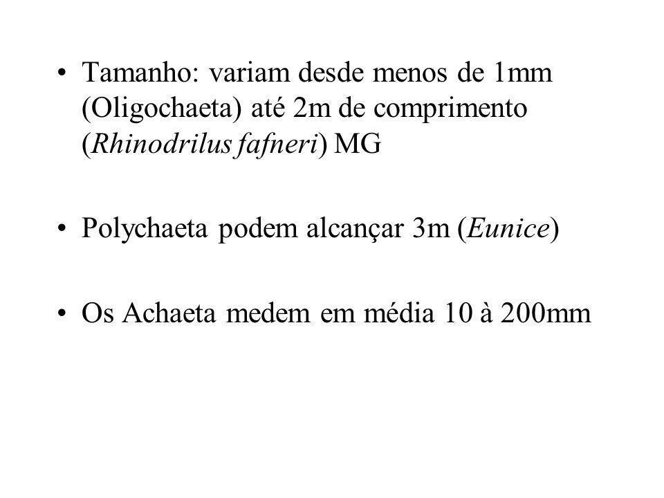 Tamanho: variam desde menos de 1mm (Oligochaeta) até 2m de comprimento (Rhinodrilus fafneri) MG