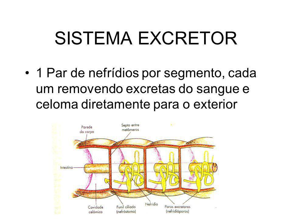 SISTEMA EXCRETOR 1 Par de nefrídios por segmento, cada um removendo excretas do sangue e celoma diretamente para o exterior.