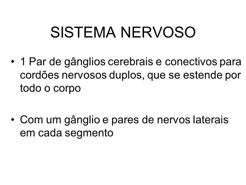 SISTEMA NERVOSO 1 Par de gânglios cerebrais e conectivos para cordões nervosos duplos, que se estende por todo o corpo.
