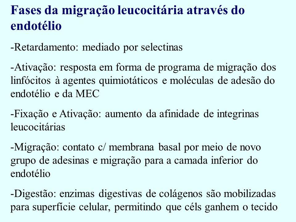 Fases da migração leucocitária através do endotélio