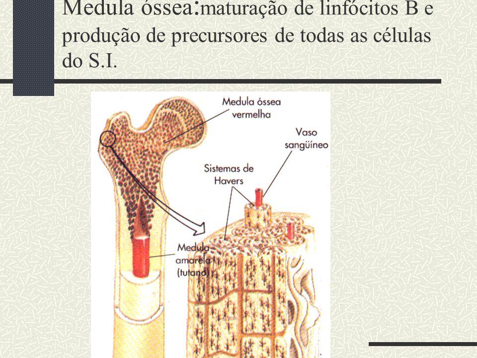 Medula óssea:maturação de linfócitos B e produção de precursores de todas as células do S.I.
