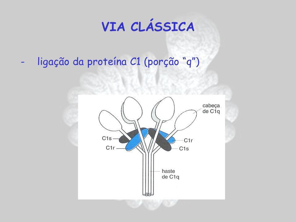 VIA CLÁSSICA - ligação da proteína C1 (porção q )