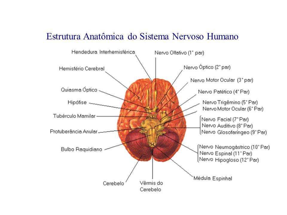 Estrutura Anatômica do Sistema Nervoso Humano