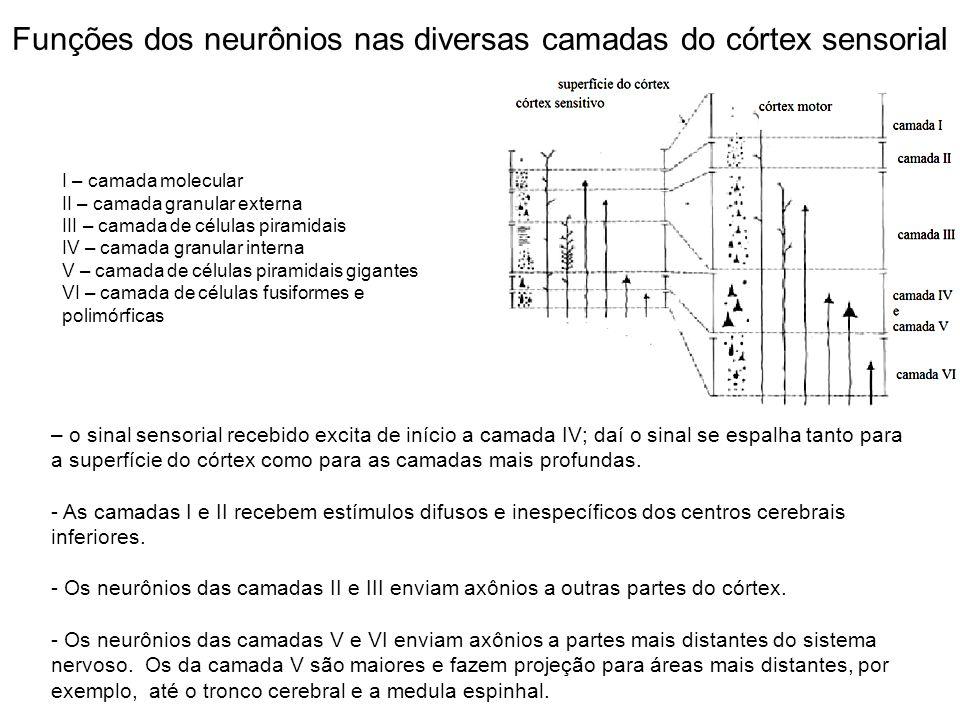 Funções dos neurônios nas diversas camadas do córtex sensorial