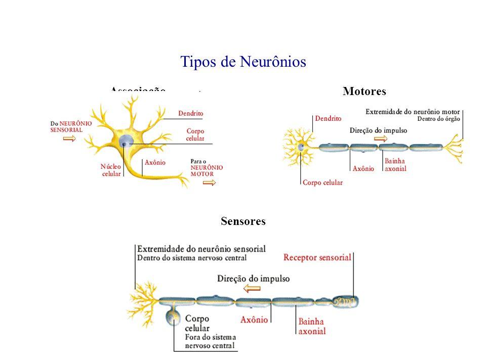 Tipos de Neurônios Associação Motores Sensores