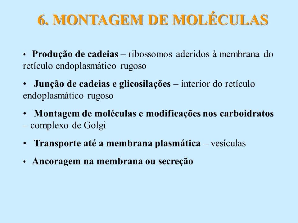 6. MONTAGEM DE MOLÉCULAS Produção de cadeias – ribossomos aderidos à membrana do retículo endoplasmático rugoso.