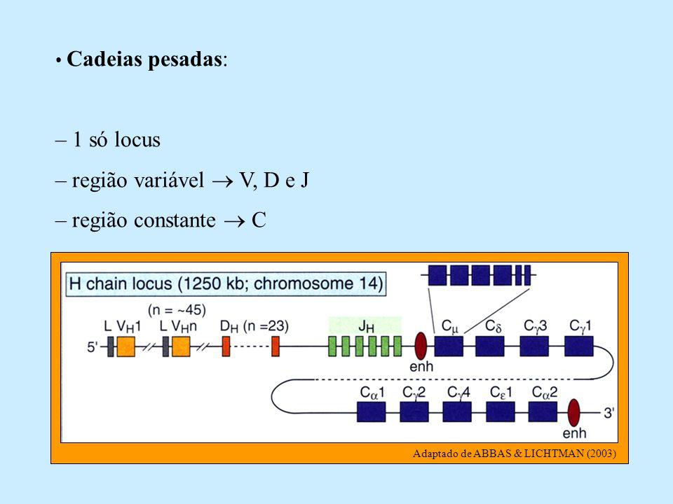 – região variável  V, D e J – região constante  C