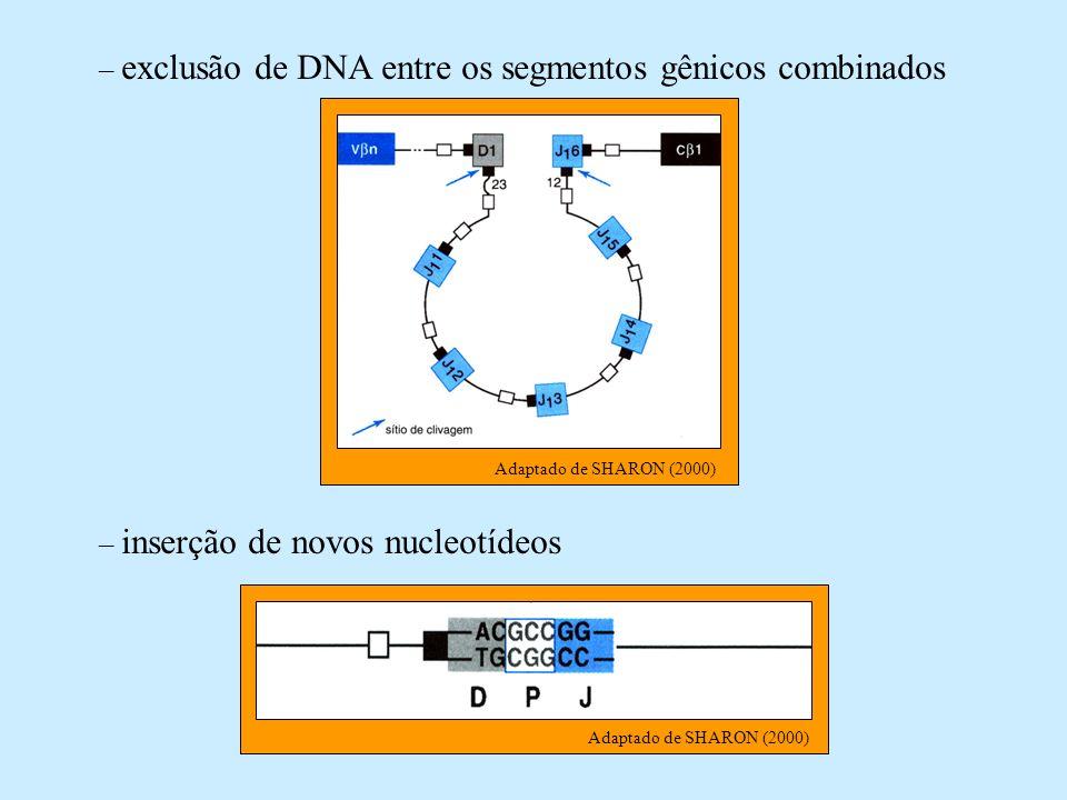 – exclusão de DNA entre os segmentos gênicos combinados