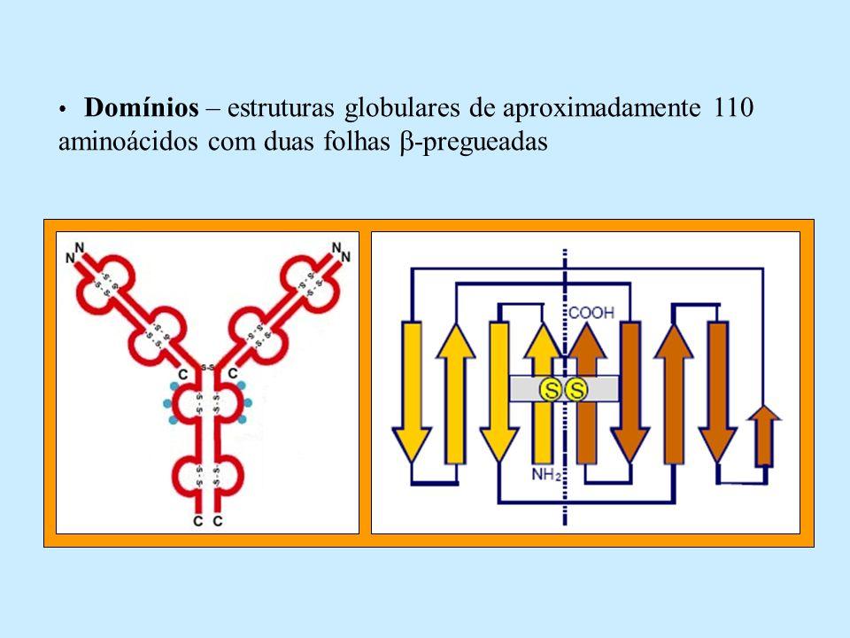 Domínios – estruturas globulares de aproximadamente 110 aminoácidos com duas folhas -pregueadas