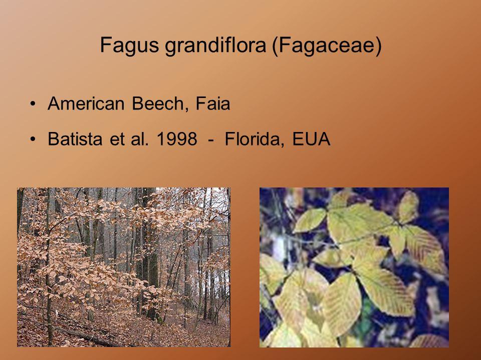 Fagus grandiflora (Fagaceae)