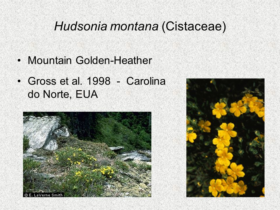 Hudsonia montana (Cistaceae)