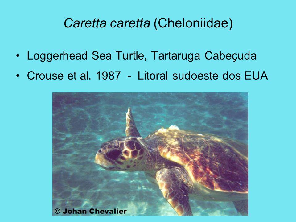 Caretta caretta (Cheloniidae)