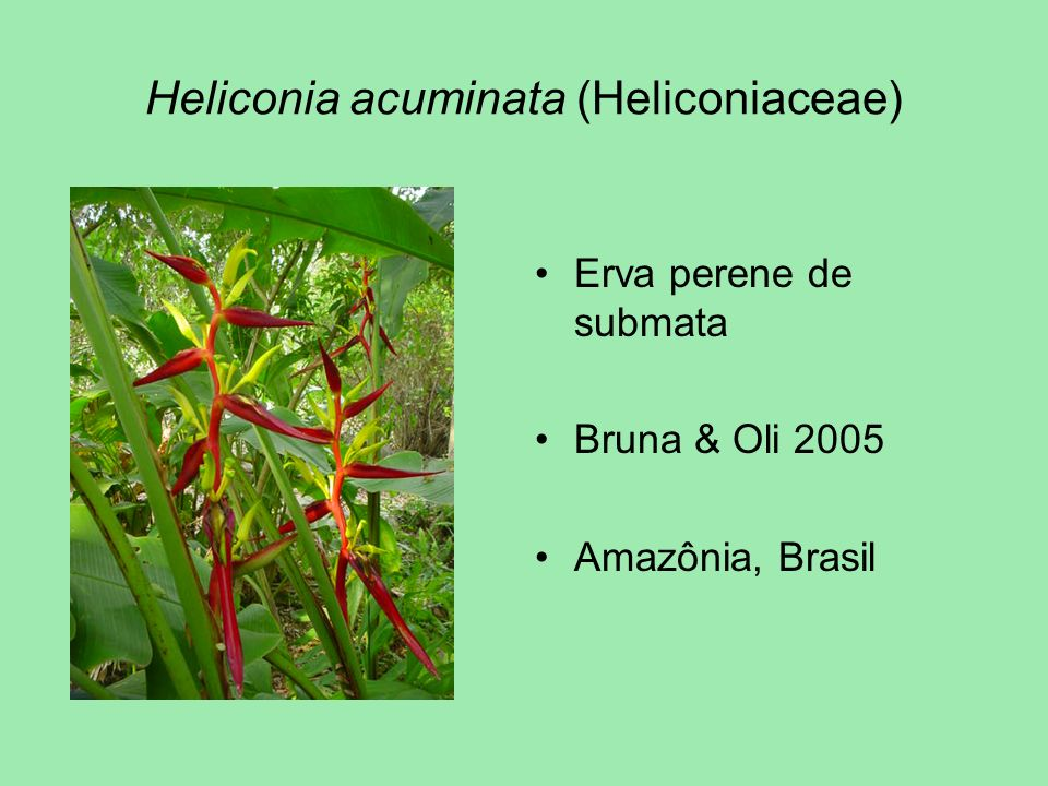 Heliconia acuminata (Heliconiaceae)