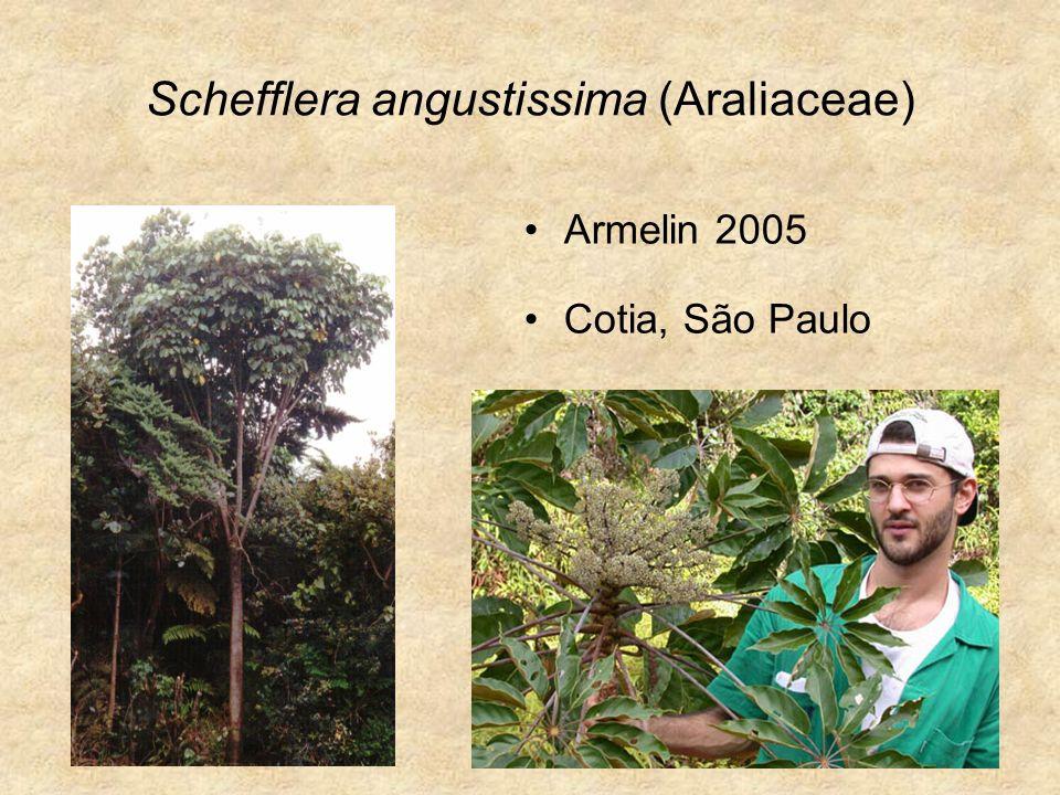 Schefflera angustissima (Araliaceae)