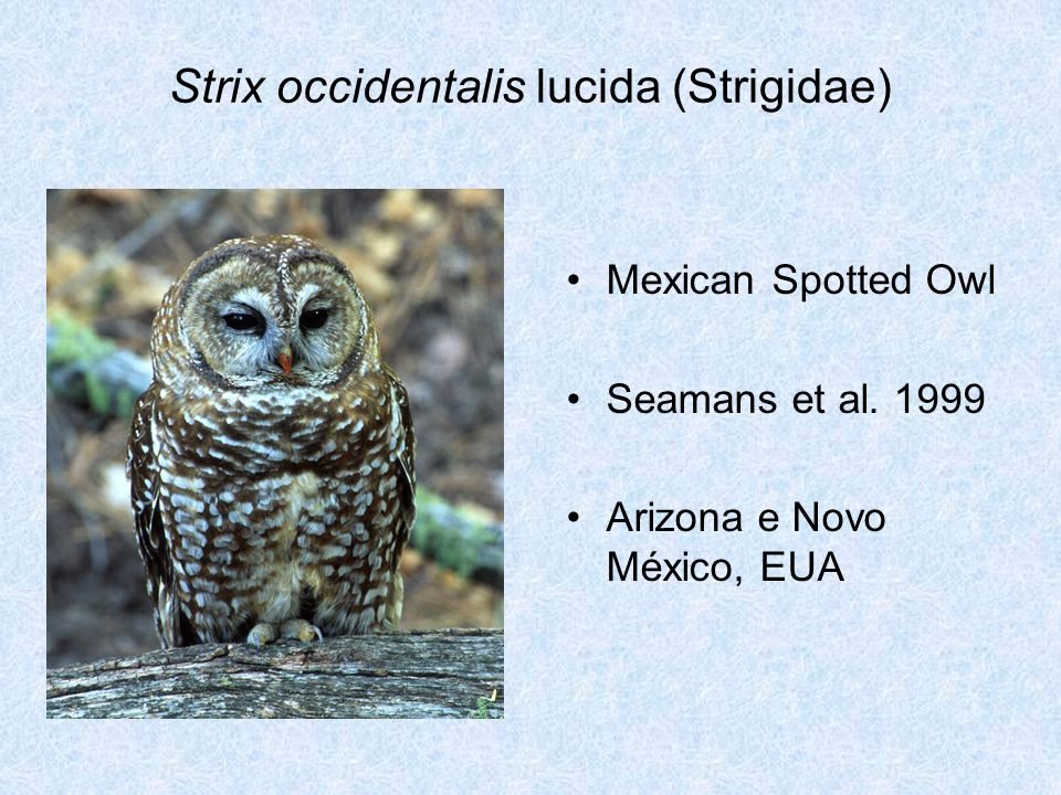 Strix occidentalis lucida (Strigidae)