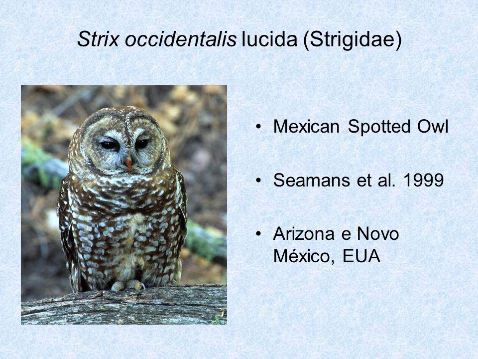 Strix occidentalis lucida (Strigidae)