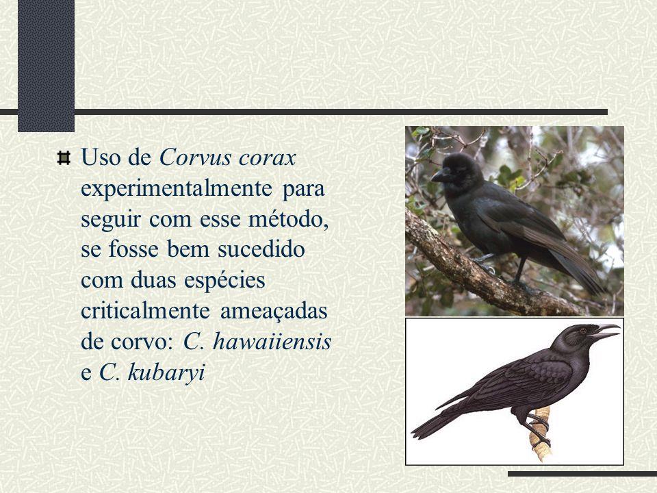 Uso de Corvus corax experimentalmente para seguir com esse método, se fosse bem sucedido com duas espécies criticalmente ameaçadas de corvo: C.