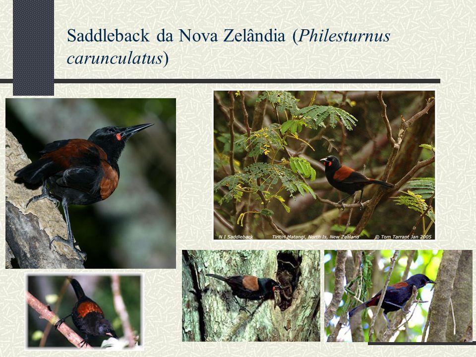 Saddleback da Nova Zelândia (Philesturnus carunculatus)