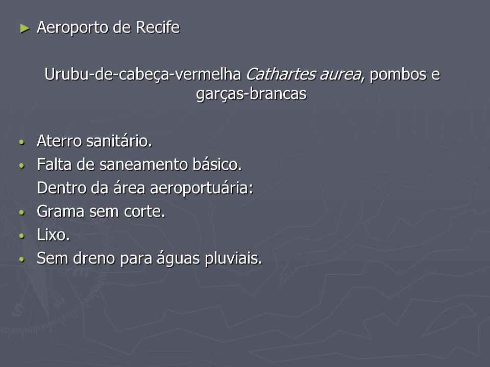 Urubu-de-cabeça-vermelha Cathartes aurea, pombos e garças-brancas