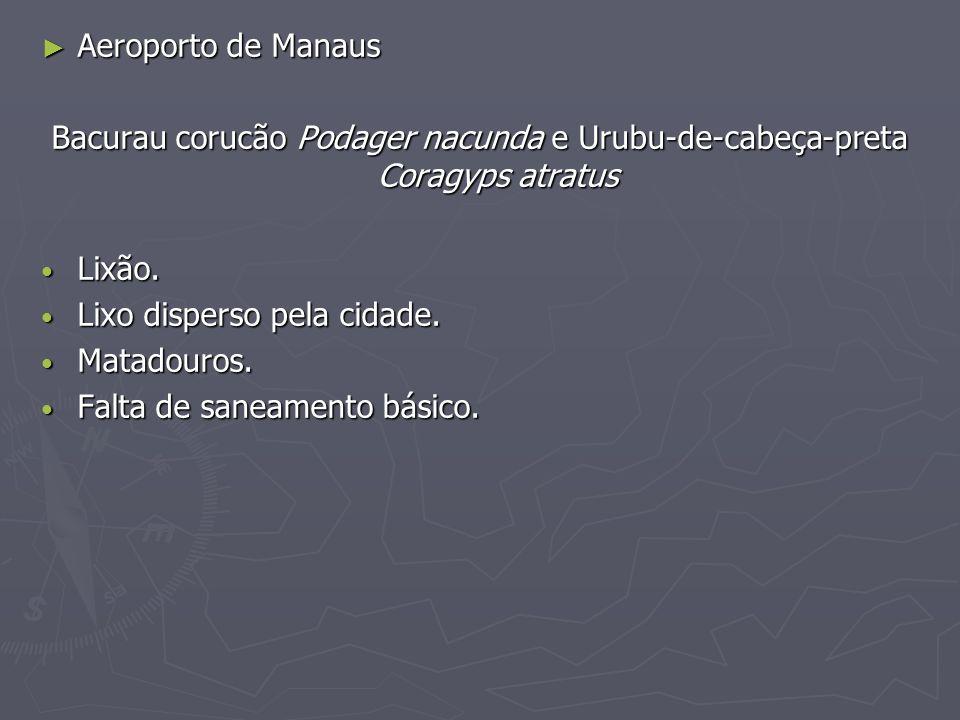 Aeroporto de Manaus Bacurau corucão Podager nacunda e Urubu-de-cabeça-preta Coragyps atratus. Lixão.