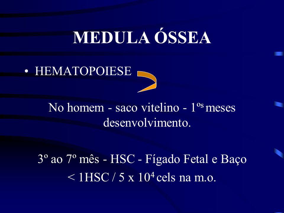 MEDULA ÓSSEA HEMATOPOIESE