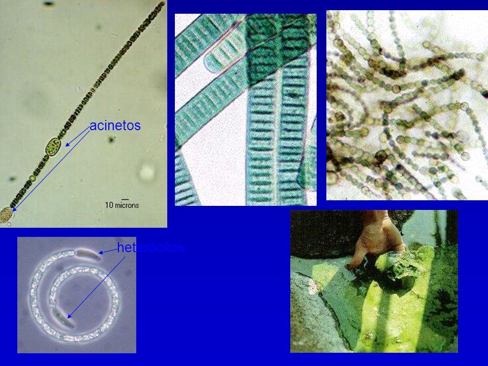 acinetos heterócitos