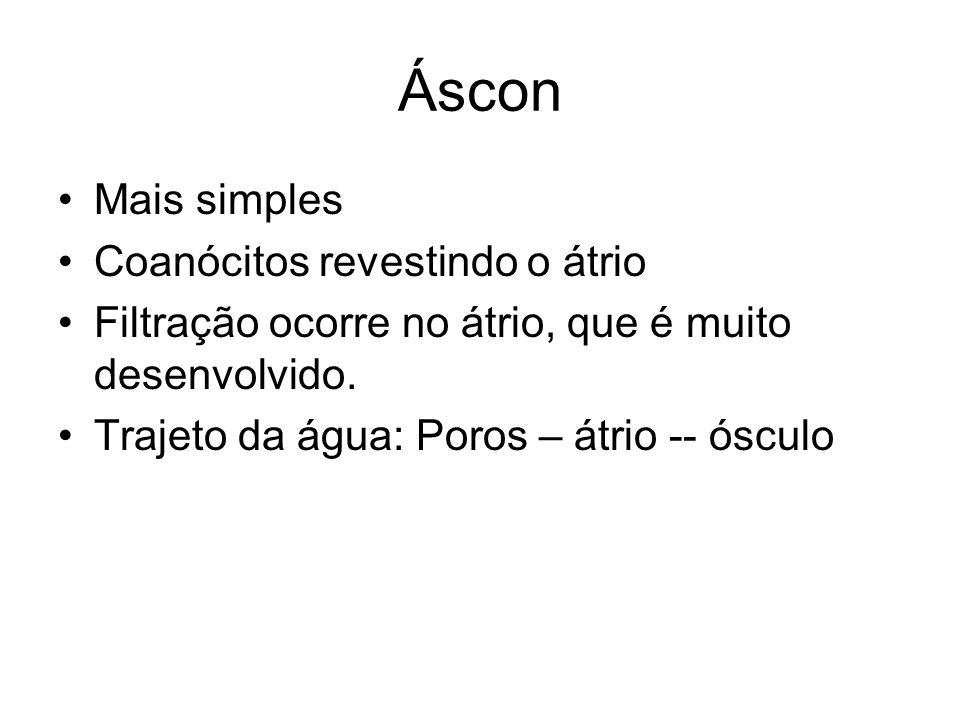 Áscon Mais simples Coanócitos revestindo o átrio