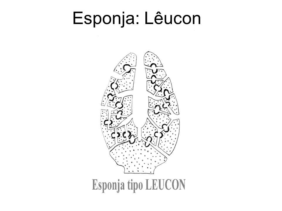 Esponja: Lêucon
