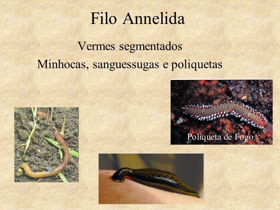 Vermes segmentados Minhocas, sanguessugas e poliquetas