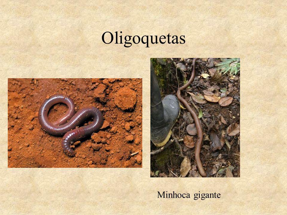 Oligoquetas Minhoca gigante