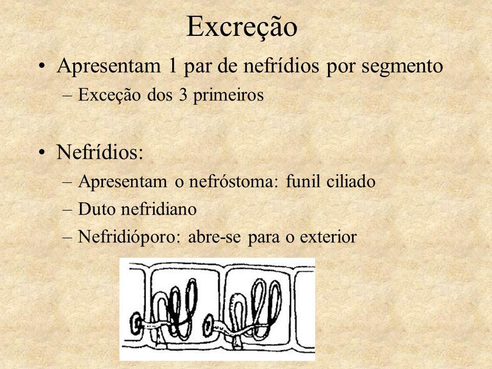 Excreção Apresentam 1 par de nefrídios por segmento Nefrídios: